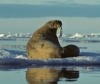 blog-walruses-200px.jpg