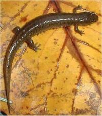 salamander-200px.jpg